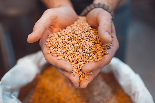 istock Malt in the hands of the brewer close-up. Holds grain in the palms of your hands 1132162902
