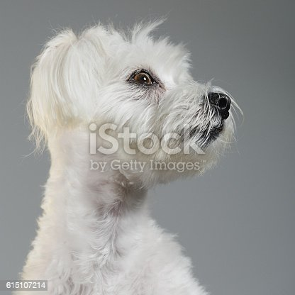615107296 istock photo Maltese bichon dog portrait 615107214