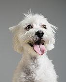 istock Maltese bichon dog portrait 615107296