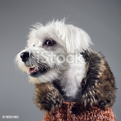 istock Maltese bichon dog portrait 618052462