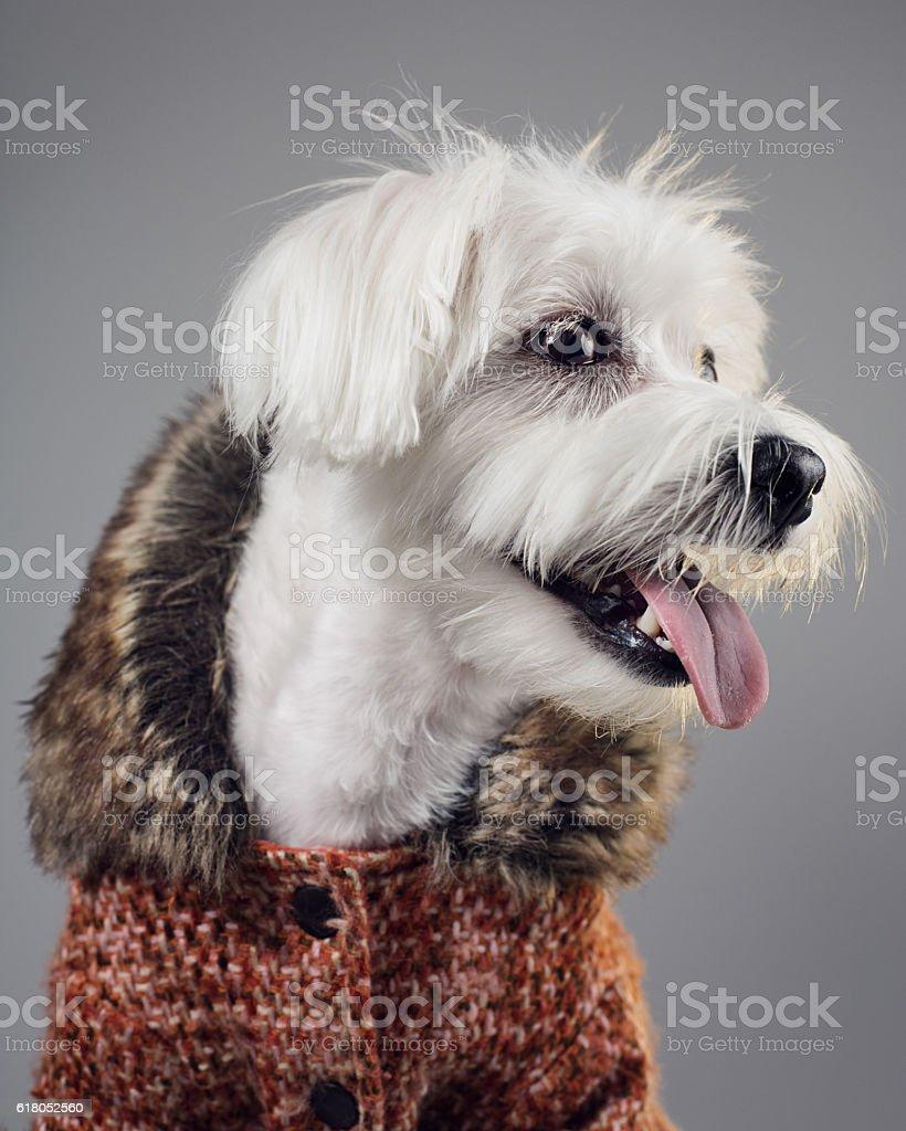 Maltese bichon dog portrait stock photo