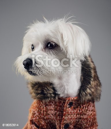 615107296 istock photo Maltese bichon dog portrait 618052614