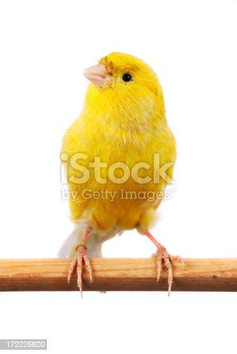 istock Maltese Canary 172226620