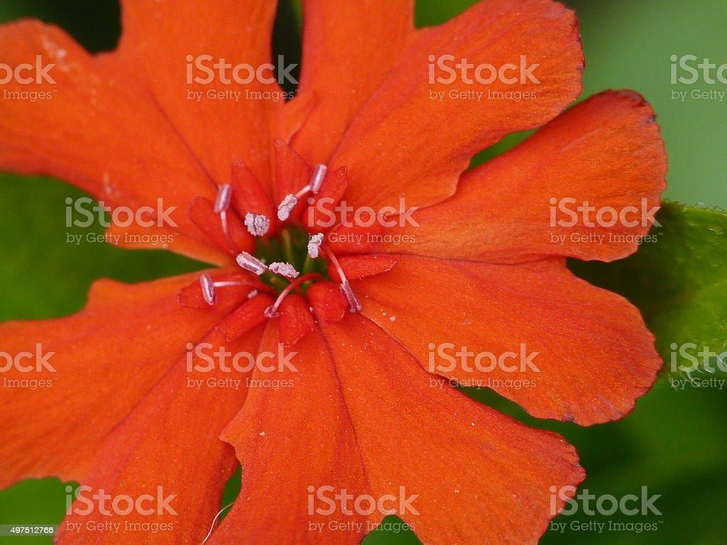Maltese cross flower, single head stock photo