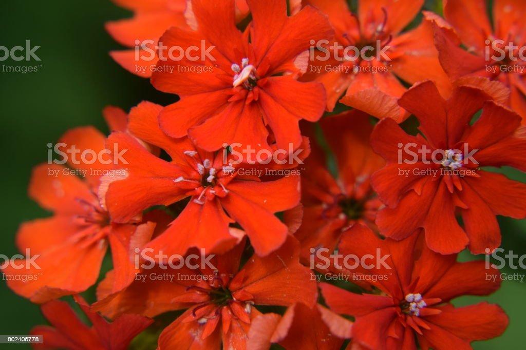 Maltese cross flowers, background stock photo