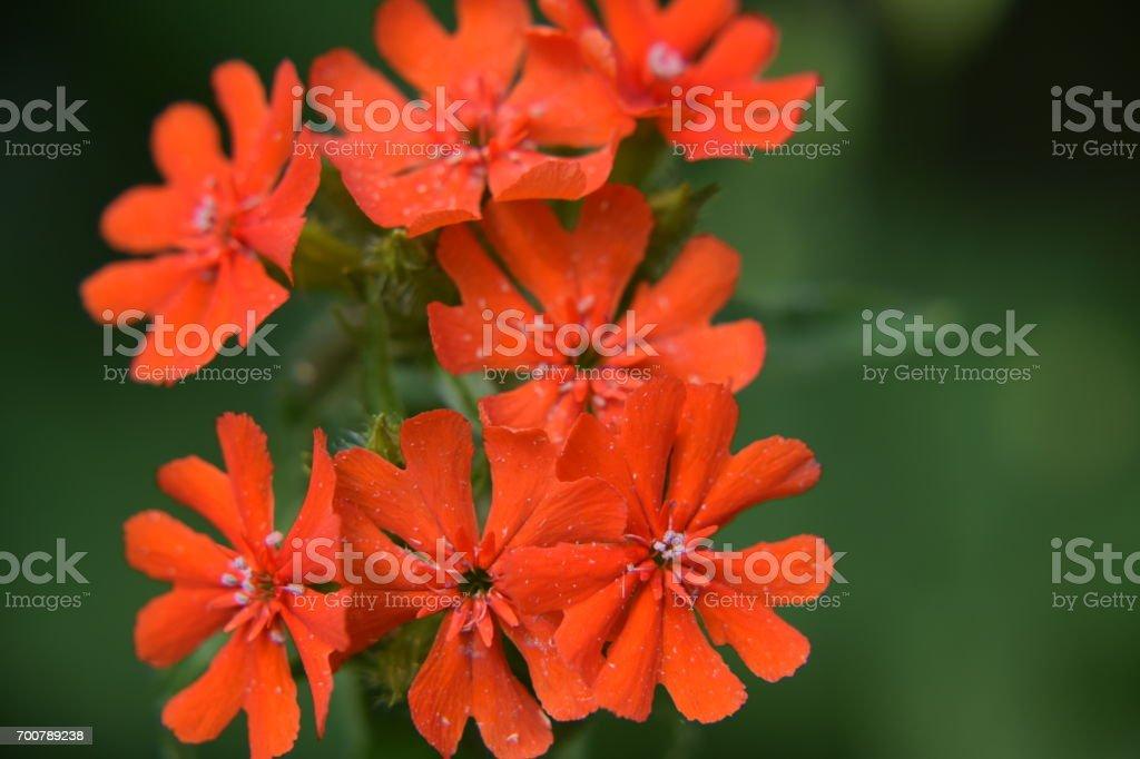 Maltese cross flowers stock photo
