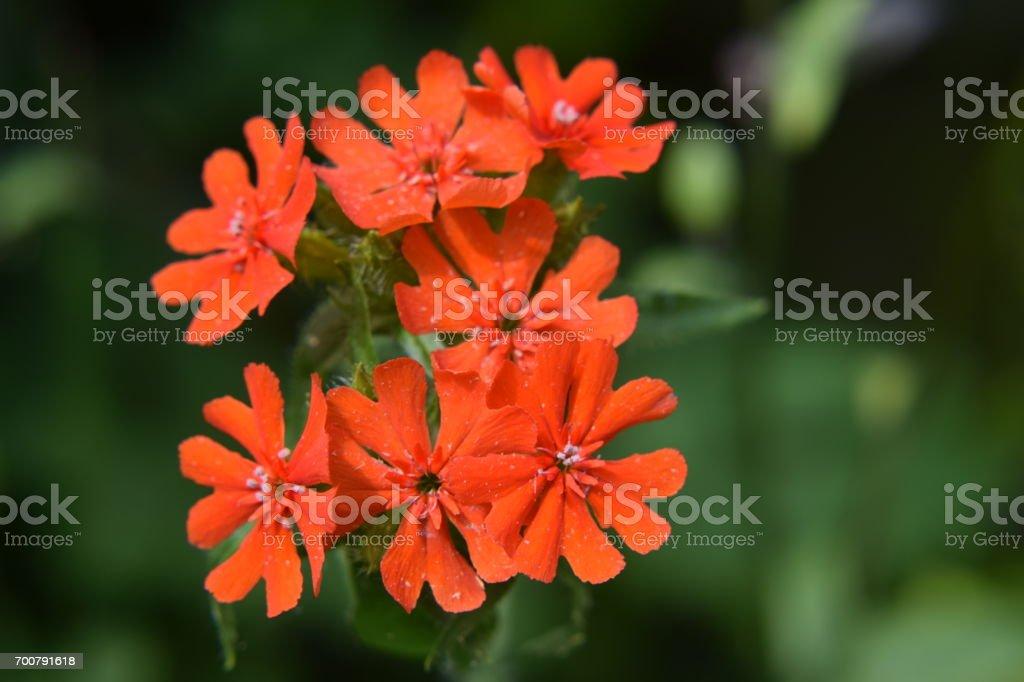 Maltese cross flowers, red stock photo