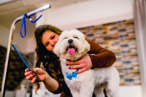 Cute white maltese dog at grooming salon
