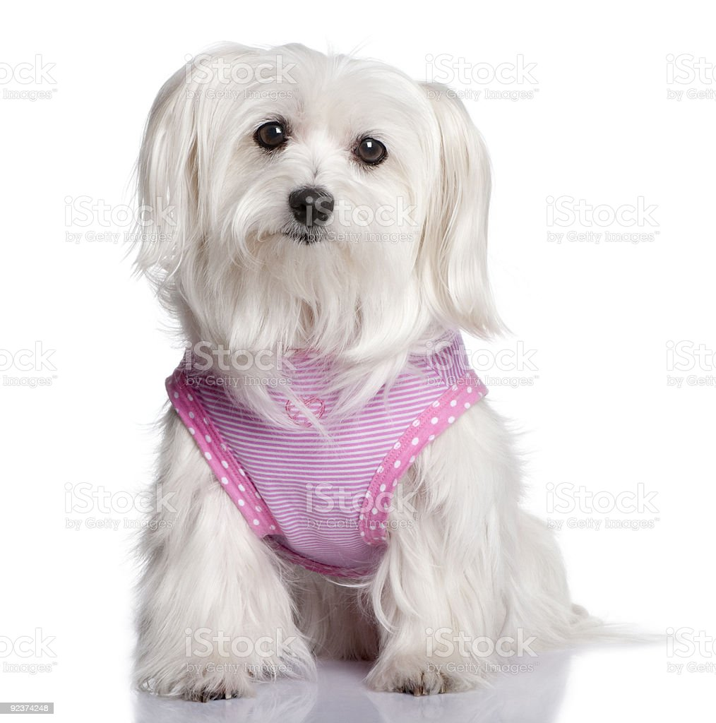 maltese dog dressed-up (7 years old) royalty-free stock photo