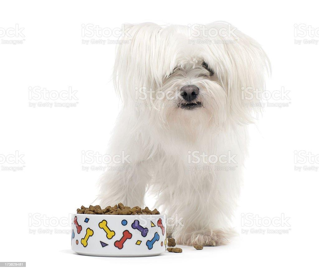 Maltese Dog eating royalty-free stock photo
