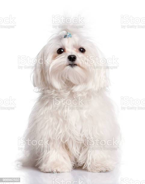 Maltese dog in front of a white background picture id956962532?b=1&k=6&m=956962532&s=612x612&h=ik5wm1e 6ca  nxqjbm5l q4kwa6fyf4fwvwrpaqhj4=