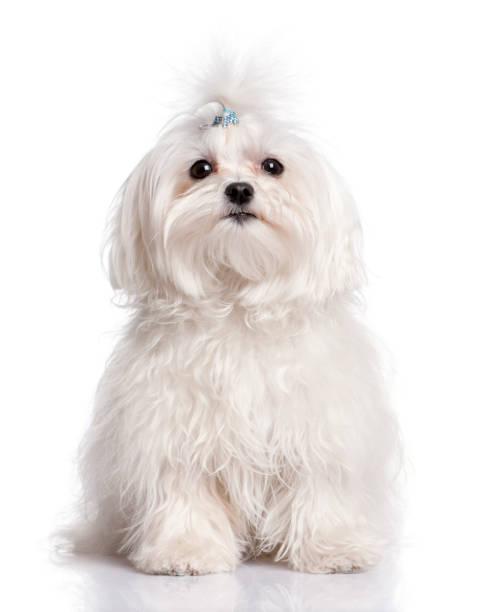 Maltese dog in front of a white background picture id956962532?b=1&k=6&m=956962532&s=612x612&w=0&h=ghgno2 i7ioxxeshq5wiwdsfidam08hrq8ozwgezp3i=