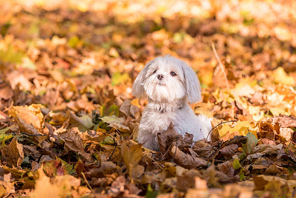 Maltese dog is sitting on the autumn leaves. Open Mouth. stock photo