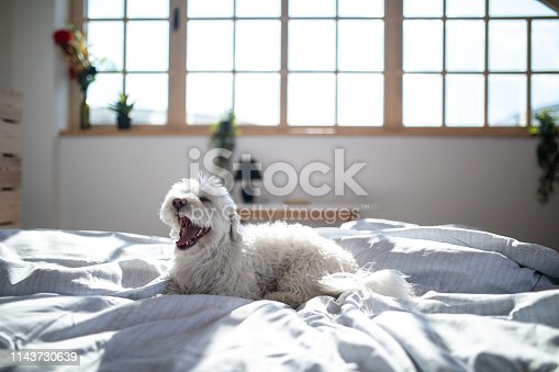 Fluffy Maltese dog lying on bed in bedroom in the morning, with opened snout