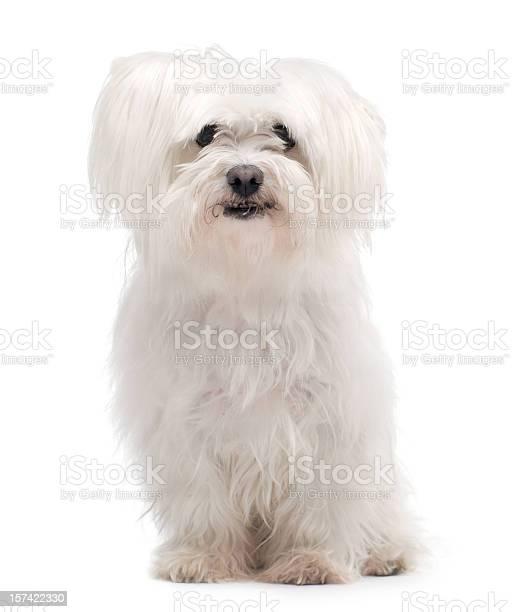 Maltese dog picture id157422330?b=1&k=6&m=157422330&s=612x612&h=4alcx5c9ff lc udeb1mox8bryxed03ryjuajspy2dg=