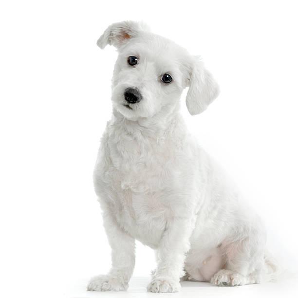 Maltese dog picture id93208912?b=1&k=6&m=93208912&s=612x612&w=0&h=fmeghl05e8ywqfzrmcziz lpfb7gr pwixsh tyzeug=