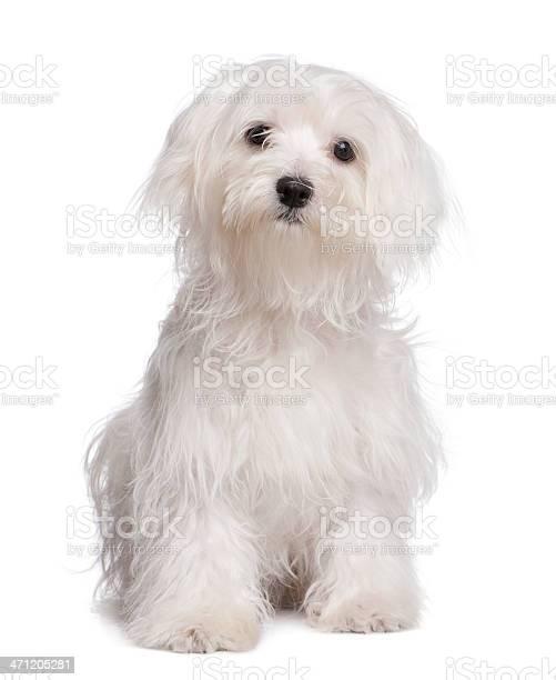 Maltese dog puppy picture id471205281?b=1&k=6&m=471205281&s=612x612&h=mwzwy3zqb3y97oiciahc1orqeauq56xb a71v4xy x0=