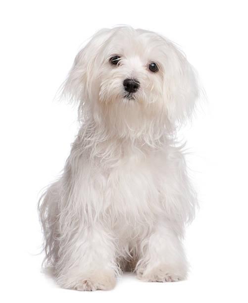 Maltese dog puppy picture id471205281?b=1&k=6&m=471205281&s=612x612&w=0&h=ccswcjbw0drsw7zlvwkpr oj5 p i0sstk0ev4lrvl0=