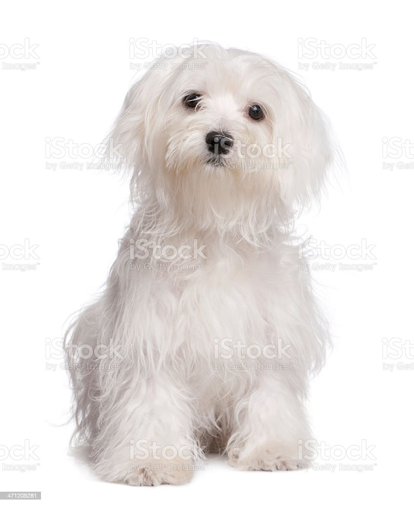 maltese dog puppy (7 months old) stock photo