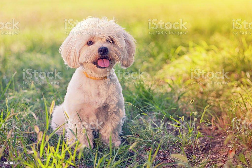 Maltese Dog Puppy stock photo
