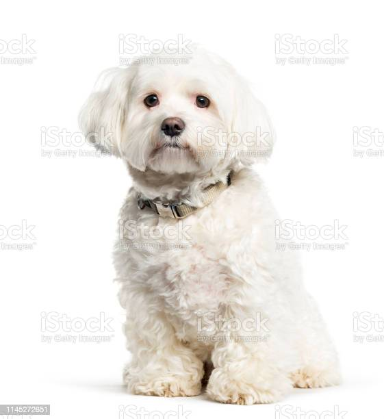 Maltese dog sitting in front of white background picture id1145272651?b=1&k=6&m=1145272651&s=612x612&h=hol6t1wlklpnrol03imxhvb4xds6qpgkufvhkfub384=