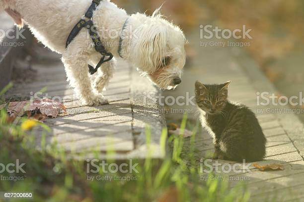 Maltese dog sniffing small cat kitten in head picture id627200650?b=1&k=6&m=627200650&s=612x612&h=xzsmpp6yoxqmxqef hmksaowrpla0ysyhaszw5mnbo0=
