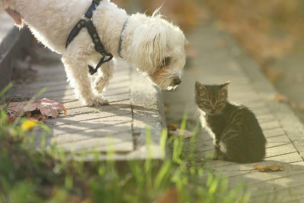 Maltese dog sniffing small cat kitten in head picture id627200650?b=1&k=6&m=627200650&s=612x612&w=0&h=9mdioejcejgi5wi7hsduqrf7oufwdf8yoymafy7td9y=