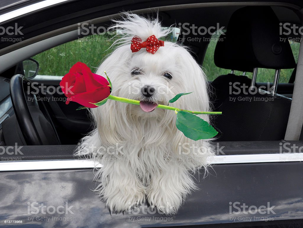 Maltese dog with a rose stock photo