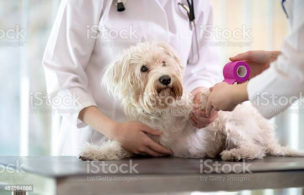 Maltese dog with broken paw in vet infirmary picture id487564566?b=1&k=6&m=487564566&s=612x612&h=seghd23d0qxzove8ugkdo5eqliggs4c4ofpaw03rf60=
