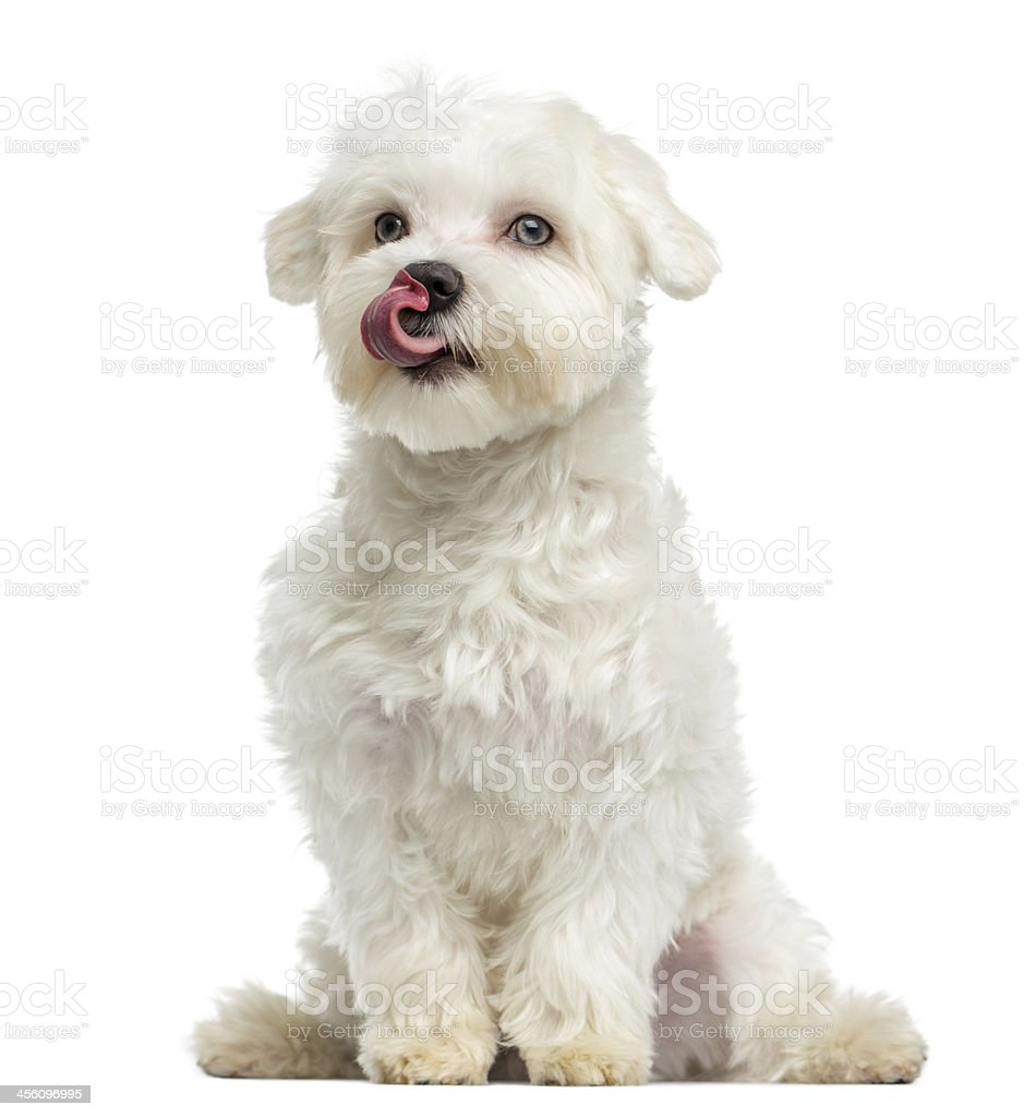 Maltese licking, sitting, 7 months old, isolated on white stock photo