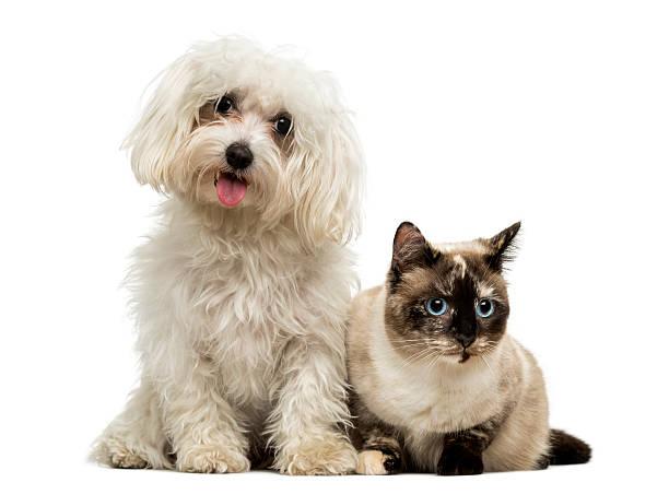 Maltese panting and birman cat isolated on white picture id474480471?b=1&k=6&m=474480471&s=612x612&w=0&h=no rlrsrwhnvq0xoonru1grfuph urwuaztxfawxdys=