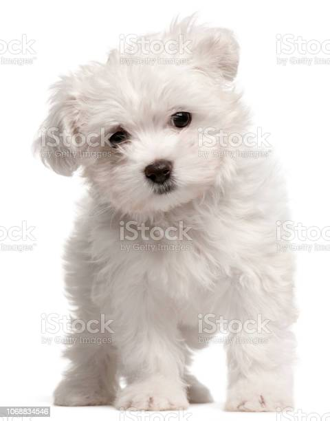 Maltese puppy 2 months old standing in front of white background picture id1068834546?b=1&k=6&m=1068834546&s=612x612&h=etzblu0 gkyhxk2nmx  feobps2qnloawjygbe52q70=