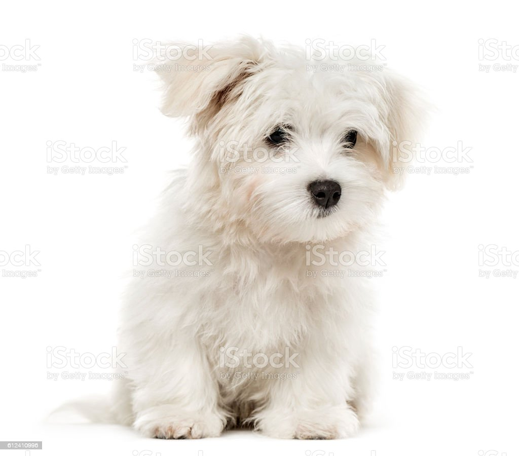 Maltese puppy, 4 months old, isolated on white – zdjęcie