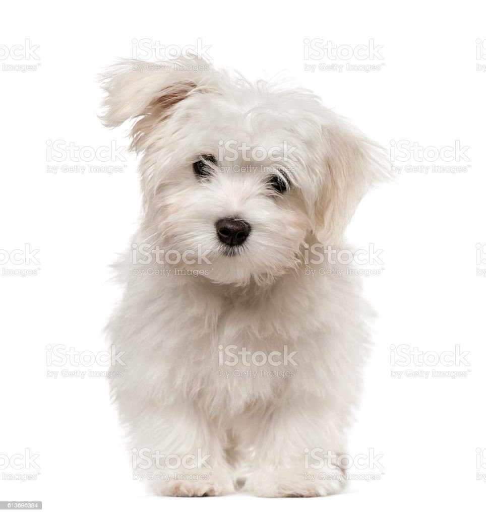 Maltese puppy looking at camera, isolated on white – zdjęcie