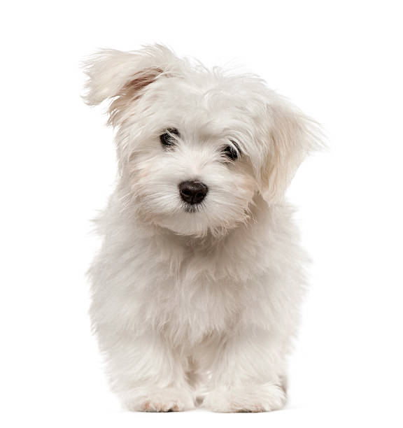 Maltese puppy looking at camera, isolated on white stock photo