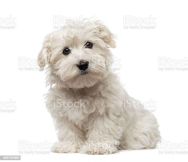 Maltese puppy picture id483794992?b=1&k=6&m=483794992&s=612x612&h=hof1oh8lqd04yrxjeojdugrjj5gp6len5enhggvqccy=