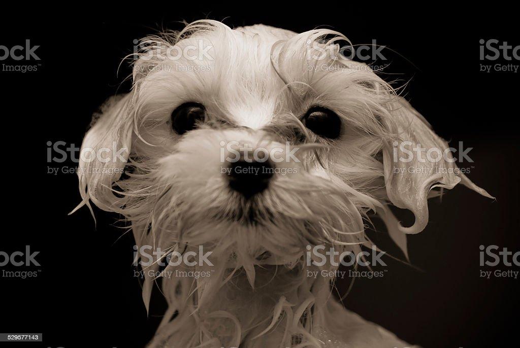 Maltese Puppy royalty-free stock photo