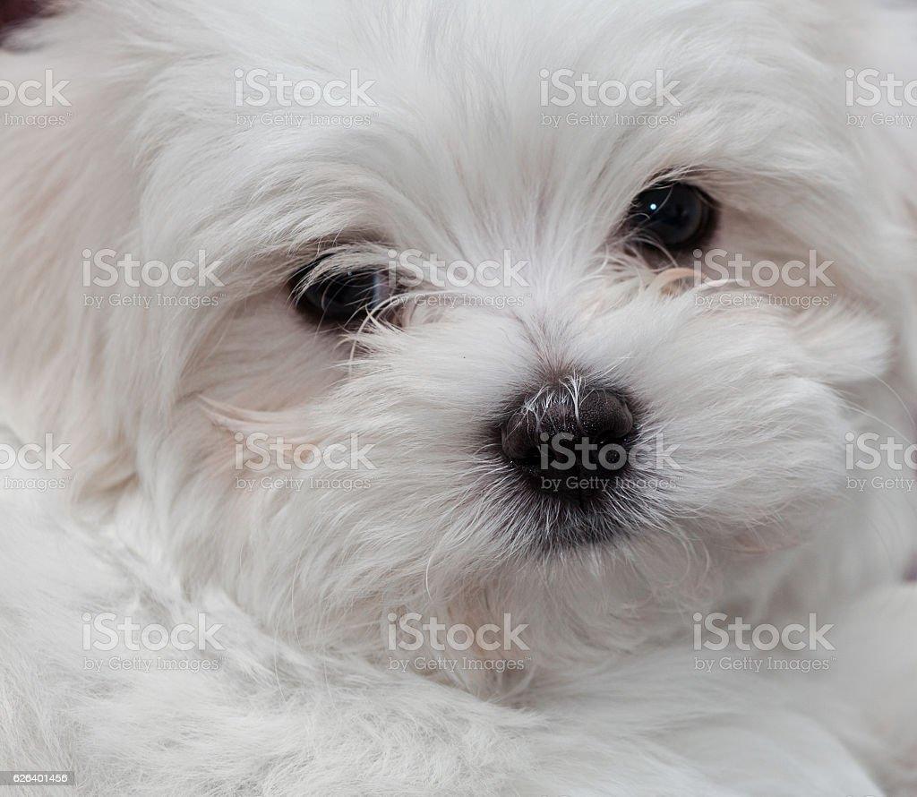 Maltese Puppy stock photo