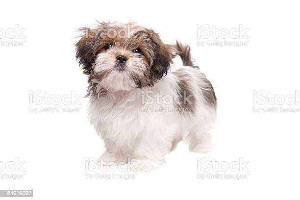 Maltese shih tzu puppy looking at camera picture id184919092?b=1&k=6&m=184919092&s=612x612&h=pjx6jpl44i sldbg iqoilbi xmz90lnftk mcqykvi=