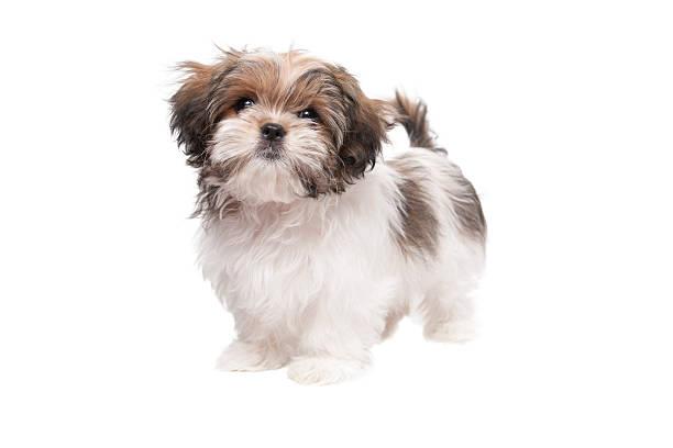 Maltese shih tzu puppy looking at camera picture id184919092?b=1&k=6&m=184919092&s=612x612&w=0&h=oaxqnkikhpjpbpfgoqxv6tqcggndsxduolsaqegcs5k=