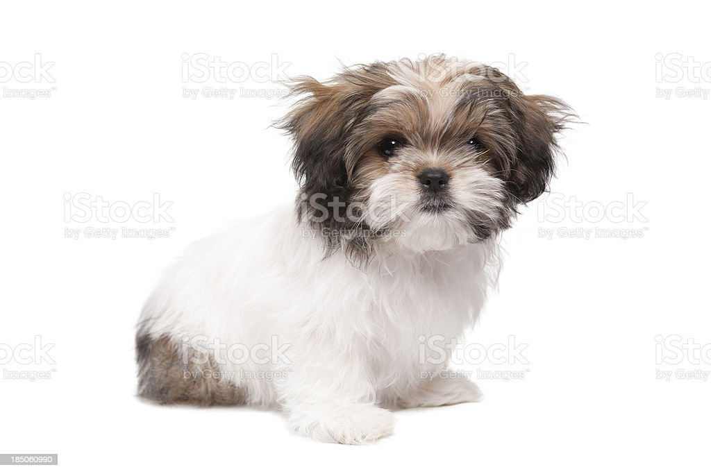 Maltese Shih Tzu Puppy Looking At Camera Stock Photo Download Image Now Istock