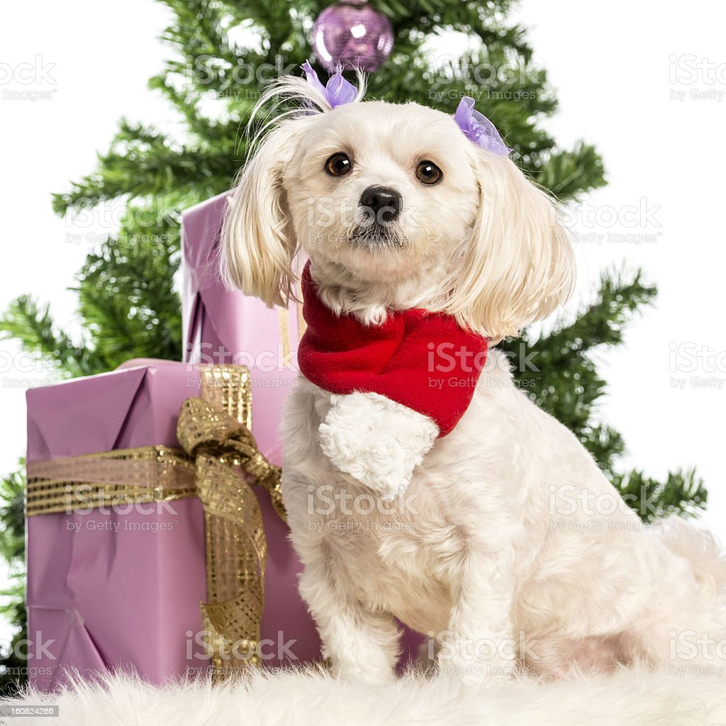 Maltese sitting and wearing a Christmas scarf royalty-free stock photo