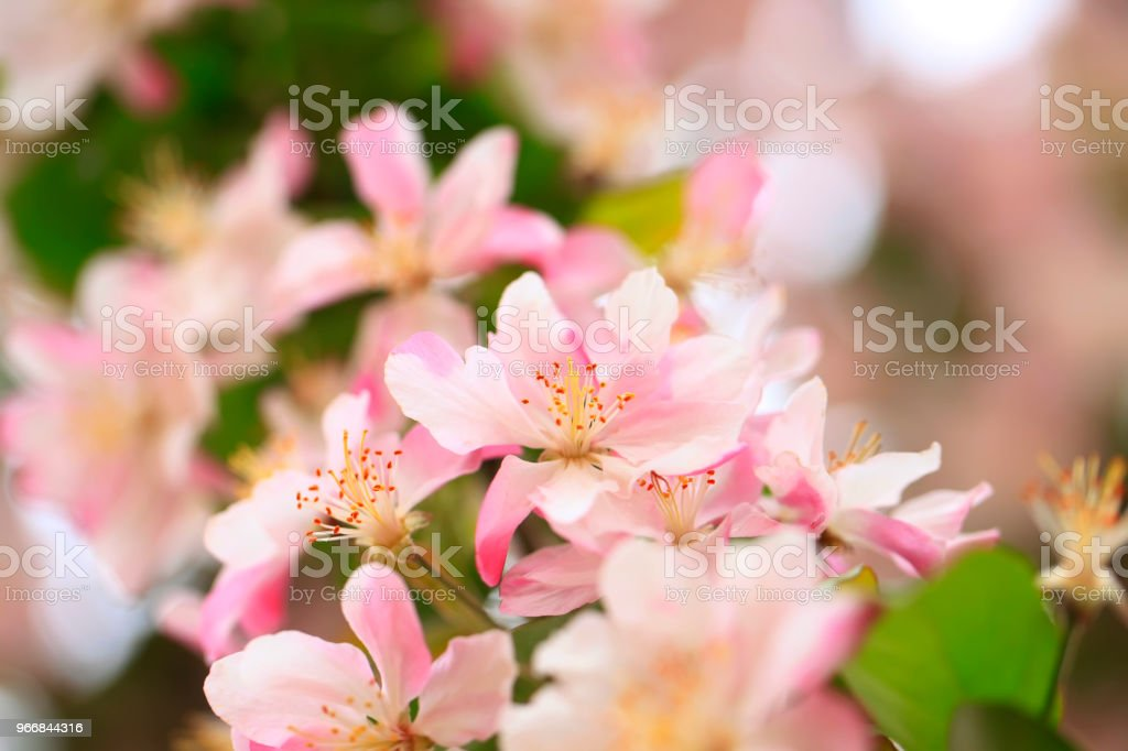 Malus spectabilis in bloom stock photo