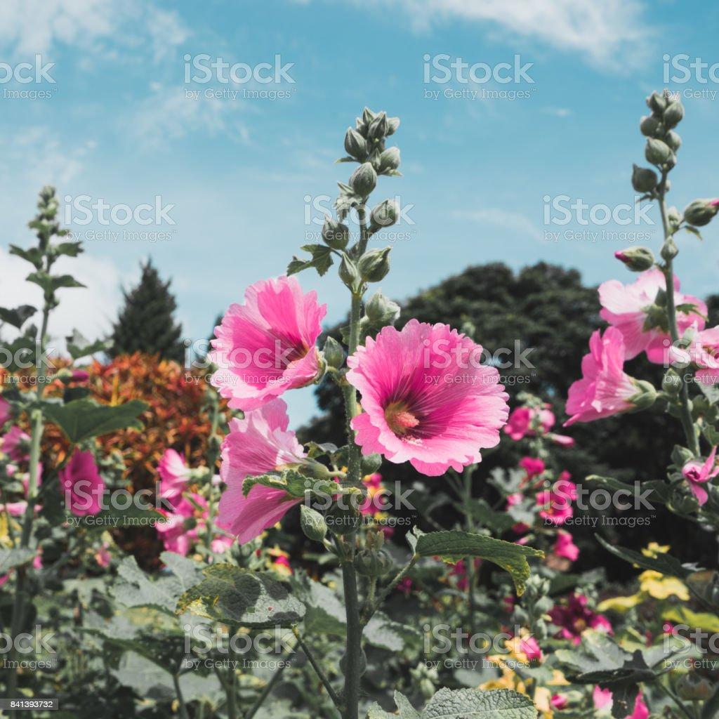 Malvaceae, Alcea Rosea, common hollyhock flowers stock photo