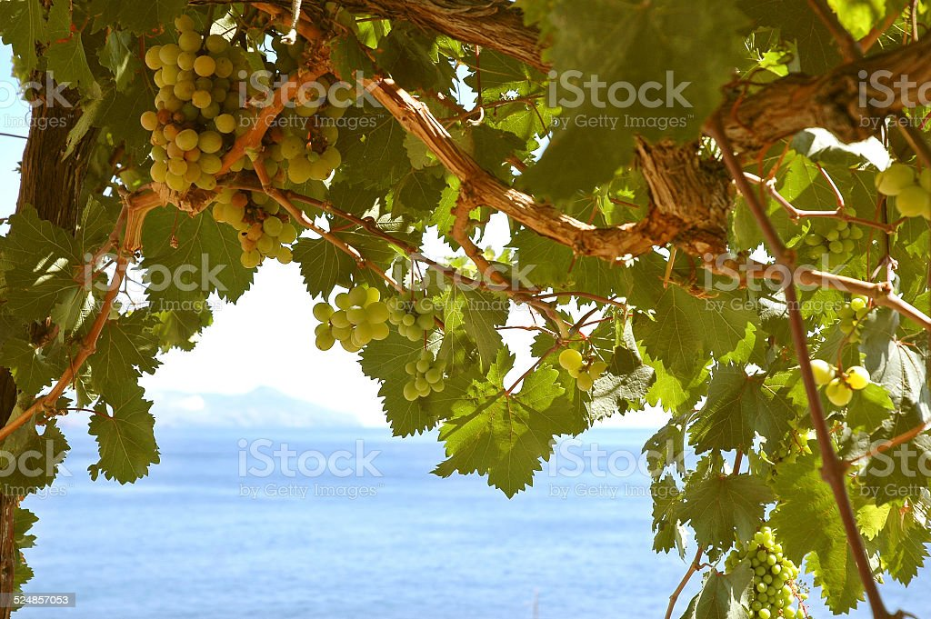 Uva Malvasia stock photo