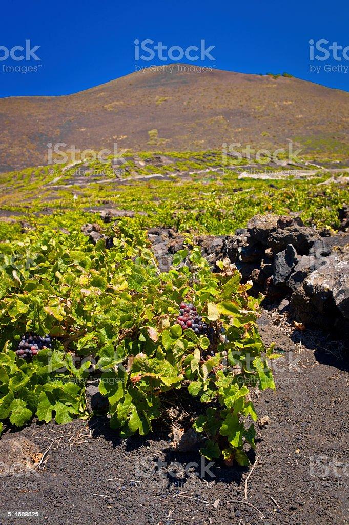 Malvasia vineyards at Teneguia Volcano stock photo
