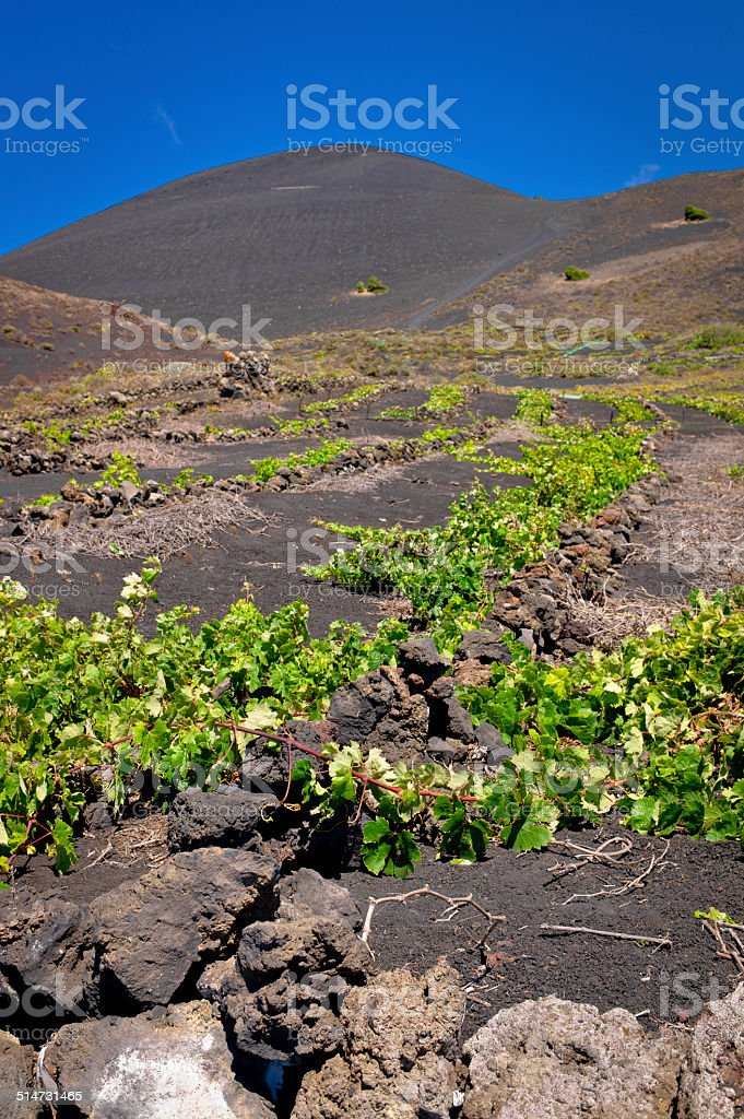 Malvasia vineyards at the foot of the Teneguia stock photo