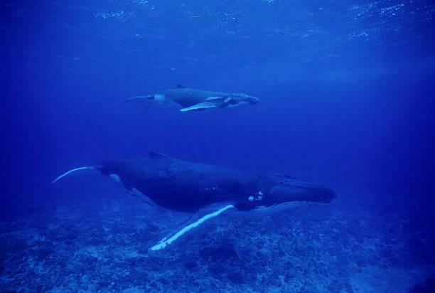 Mama und Kalbsleder Buckelwale – Foto