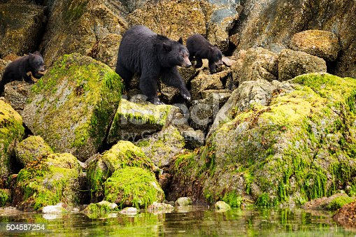 istock Mama bear and her two cubs hunt for clams 504587254