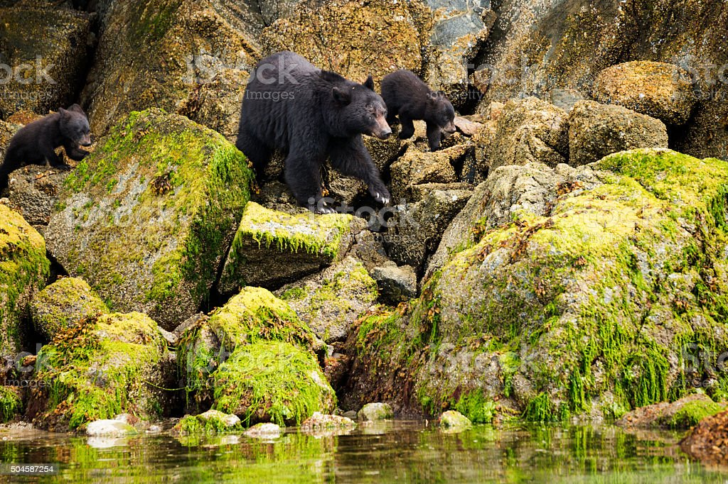 Mama bear and her two cubs hunt for clams stock photo